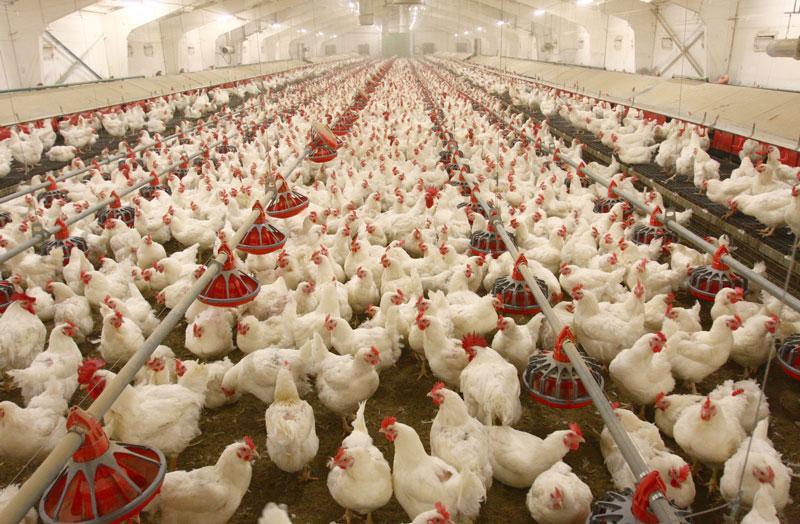 بانک کشاورزی به مرغداران کمک کند