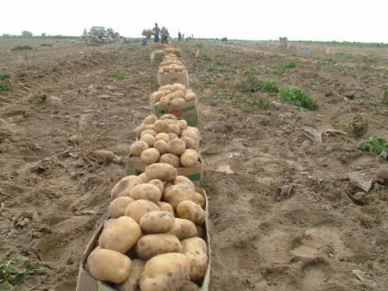 مطالبات سیبزمینی کاران استان گلستان پرداخت شد