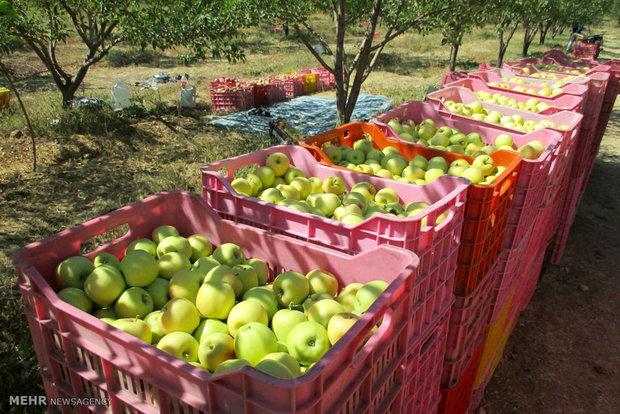 تولید سیب درختی نسبت به سال گذشته حدود تا ۴٠ درصد کاهش داشته است