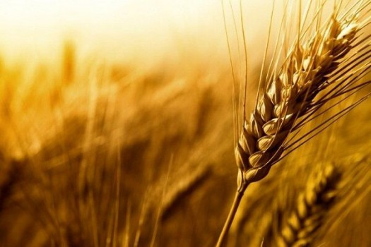 یک میلیون و ۸۰۰ هزار تن گندم از کشاورزان خرید شد