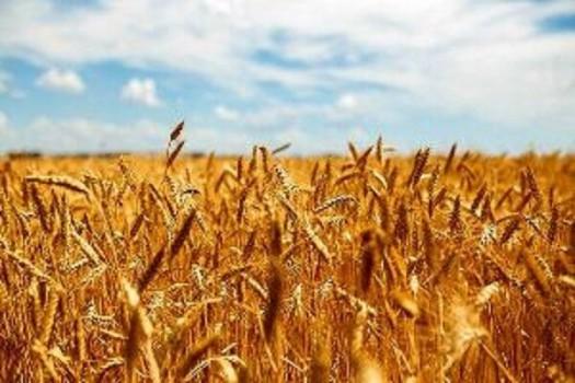 مبنای قیمت خرید تضمینی هر کیلوگرم گندم از کشاورزان، ۵ هزار تومان است