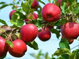 ارزآوری ۷۶۴ میلیون دلاری صادرات سیب درختی در ۹ ماه