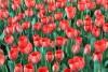 ۱۰هزار گل لاله در منطقه دو پایتخت شکوفا شد