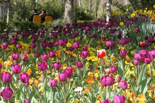 شکوفایی۵۰ هزار گل بهاری در قلب پایتخت
