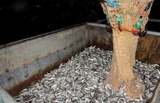 صید بیش از ۲۰ هزار تن کیلکا از دریای خزر